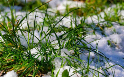Snow Mold Disease – Identify & Prevent